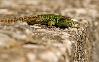 Green Lizard close up.