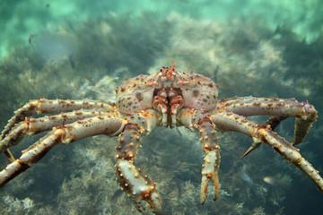 King crab close up