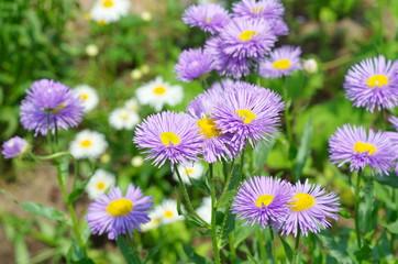 Erigeron flowers in the garden