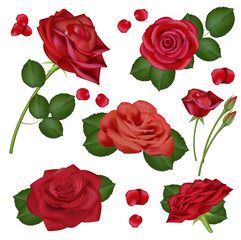 Vector realistic red rose flowers on white background for design, banners, invitation of the wedding, birthday, Valentine s Day, Mother s Day, gift cards, congratulation.