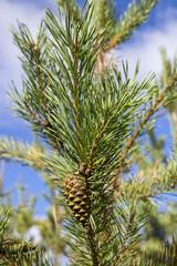 Green cones of the pine bedikah. tree, pinecone, nature.