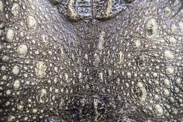 thai Crocodile Staff  skin texture