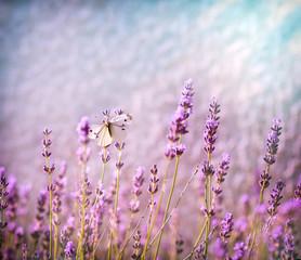 White butterfly on lavender flower lit by sunlight