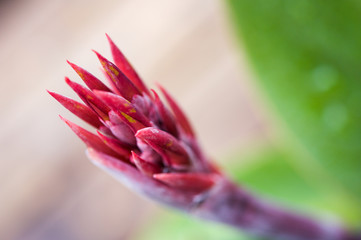 Close up of the flowers of a red canna lily blossoming