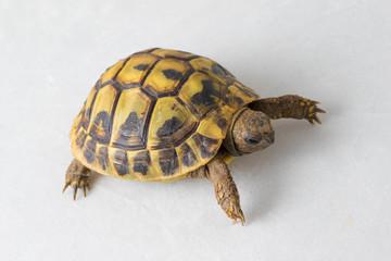 Hermann's tortoise, Testudo hermanni on white