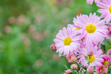 Violet chrysanthemums flowers in garden. Festive greeting card