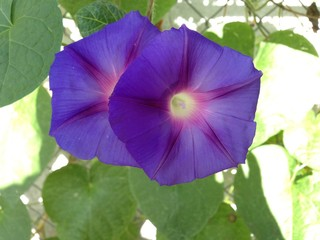 Purple Blue Morning Glory Star