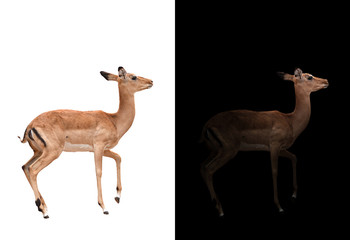 Wall Mural - impala in the dark and impala isolated
