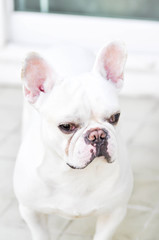 French bulldog is standing