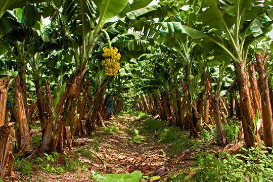 Banana Plantation on the West Coast of Martinique
