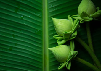 Lotus green background. Buddhist Day