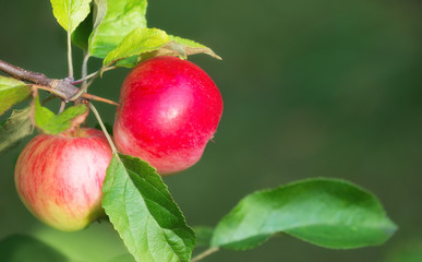 Apples growing on a tree branch. Natural green background with copy space.