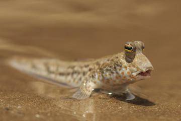 Fish out of Water. Rockskipper fish on land. Amphibious fish