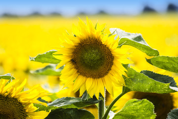 Yellow Sunflower. Sunflowers Field.
