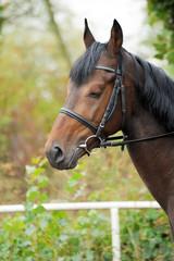 Portrait of a curious quarter horse mare