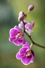 Orchidea na zielonym tle