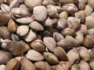 texture of shell clams