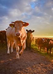 Fototapete - Braune Rinder in der aufgehenden Sonne, Hochformat