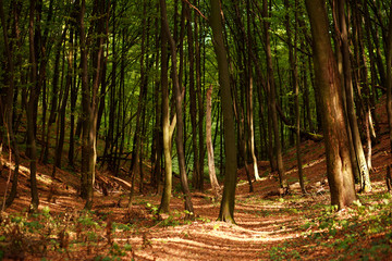 Keuken foto achterwand Weg in bos Background nature green forest in rays of setting sun