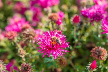 Wild pink flowers blossom in sunlight with bee