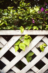 Beautiful green Bougainvillea bush with purple flowers behind white shabby wooden lattice fence