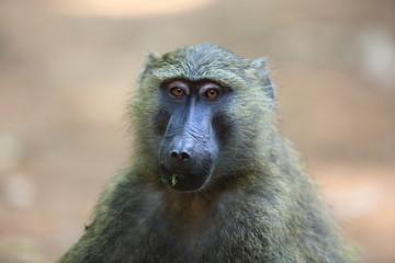 Olive baboon or Anubis baboon (Papio anubis) in Kibale national Park,Uganda