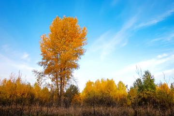 Fond de hotte en verre imprimé Piscine Yellow birch in meadow in the middle of forest
