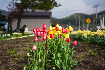 colorful beautiful tulips side of houses