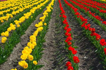tulips garden hokkaido