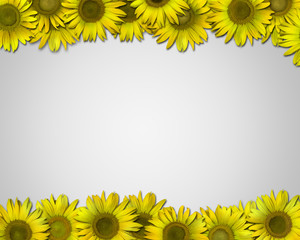 background-frame of sunflowers.