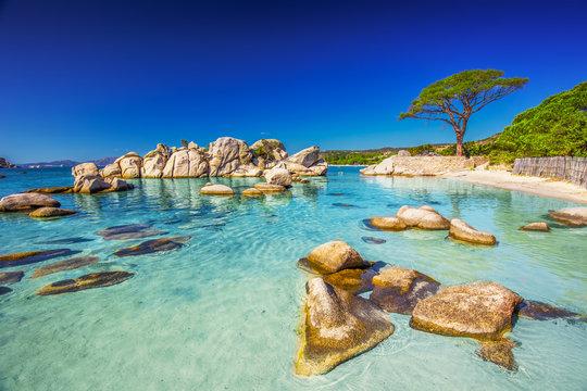 Pine tree on Palombaggia beach, Corsica, France