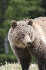 Young Grizzly Bear in Canada