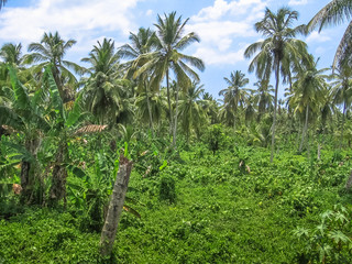 The dense forest of palm trees coconut in Samana Peninsula that surrounds the Playa Rincon in the northeast of the Dominican Republic.