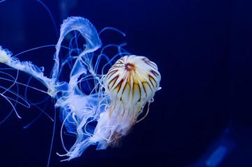 Stinging Nettle Jellyfish Swimming