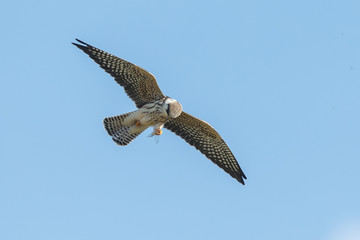 Red-footed falcon hunting for dragonfly