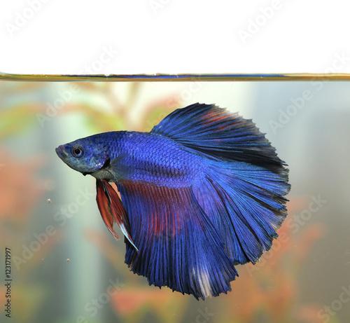 Blue betta fish aquarian swims in aquarium water stock for Betta fish ick