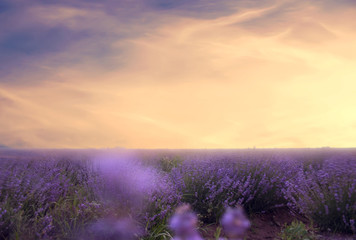 Soft focus of lavender field at the colorful sunset in a warm su