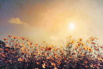 Wall Mural - Vintage landscape nature background of beautiful cosmos flower field on sky with sunlight. retro color tone filter effect