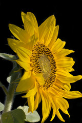 flower sunflower isolated on a black