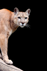 Puma on dark background
