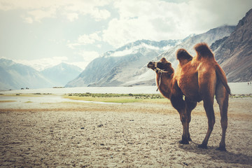 Double hump camel walking in the desert in Nubra Valley, Ladakh, India (Vintage tone)