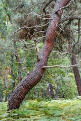 Tronco de Pino Resinero. Pinus pinaster.
