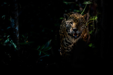 Foto auf Leinwand Panther American jaguar female in the darkness of a brazilian jungle, panthera onca, wild brasil, brasilian wildlife, pantanal, green jungle, big cats, dark background, low key