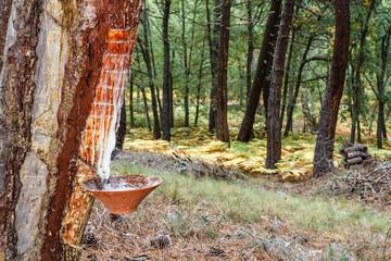 Aprovechamiento de Resina. Pino resinero, negral. Pinus pinaster. Pinar de Tabuyo del Monte, León, España.