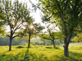 Streuobstwiese mit Apfelbäumen