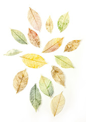 Set of tinted skeleton leaves on white background
