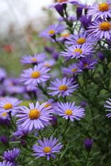 beautiful flower blue aster.