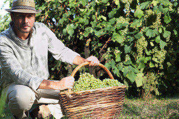 Grapes harvest, Winemaker in vineyard