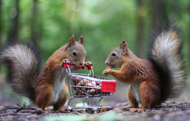 Photo sur Toile Squirrel Two red squirrels near the small shopping cart with nuts