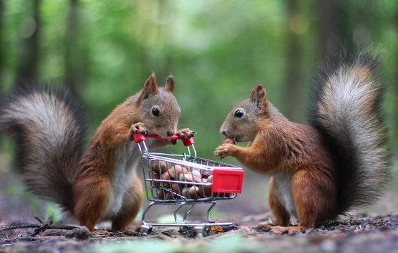 Two red squirrels near the small shopping cart with nuts